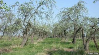 Tiddesley Wood orchard, near Pershore