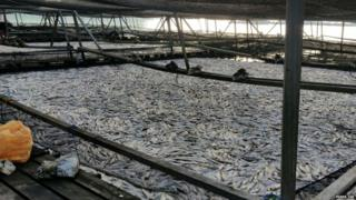 Picture of mass fish death in Singapore
