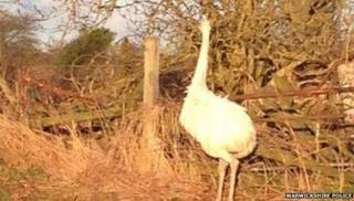 Colin the Ostrich