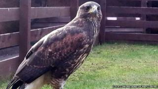 Picture of one of the Harris Hawks