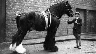Shire horse, 1926