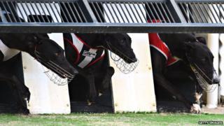 Greyhounds racing in Melbourne, Australia (Feb 2015)
