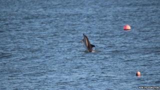 Short-beaked, common dolphin