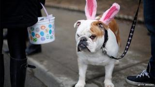 Dog wearing fake rabbit ears