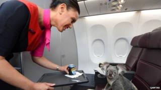 Koala on Qantas 'cabin'