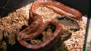 Corn snake found in Norfolk