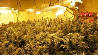 Rooms full of professionally lit and aerated growing plants found after a police raid on a property