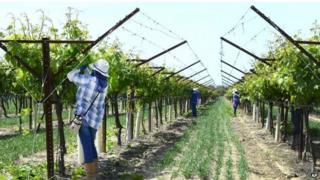 Workers tend to grape vineyards near Fresno,California, USA,