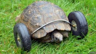Tortoise Mrs T