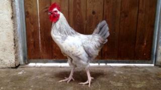 The cockerel