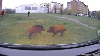 The two boar with a police officer in the background