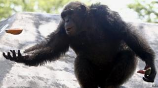 A chimpanzee enjoys cold fruit during a hot day at Dusit Zoo in Bangkok, Thailand on 22 April 2015.
