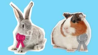 BBC Comedy Election graphic, showing a rabbit and Guinea pig wearing rosettes