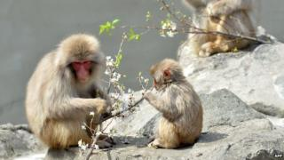 Macaque monkeys eating blossom