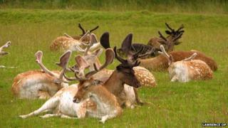 Deer in Bradgate Park