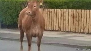 'Bessie' the cow