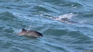 Porpoises at Strumble in 2015
