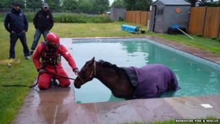 Polo pony rescued from Winkfield Row swimming pool