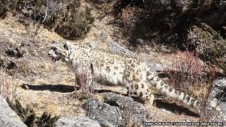 Snow leopard 08 June 2015