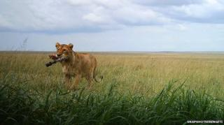 Lion with snack