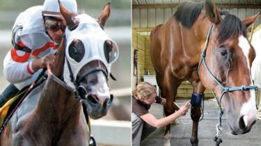 Metro ridden in a race (left) and receiving treatment for his knees (right)