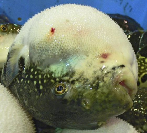 fish japanese fugu the fish more poisonous than cyanide bbc news