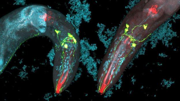 O Caenorhabditis elegans sobrevive ao ataque intestinal das lesmas