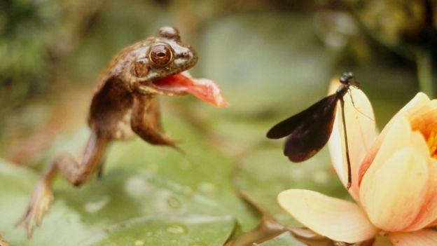 Sapo atacando inseto