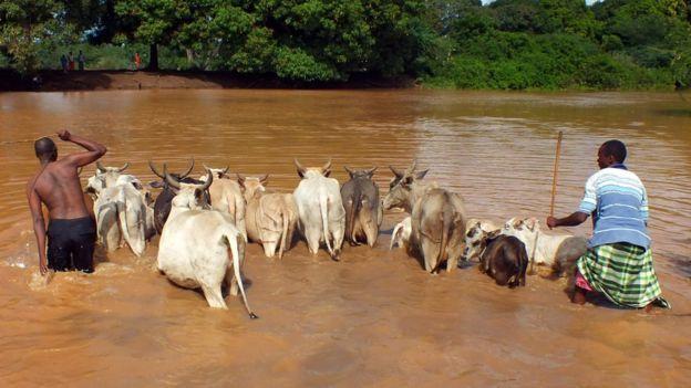 Gado no Quênia