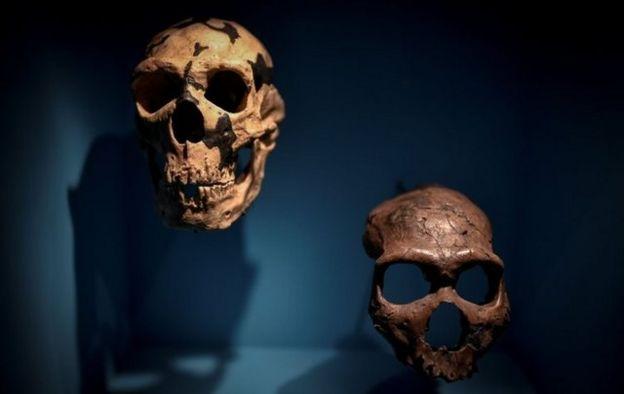 Restos de cráneos de neandertales.