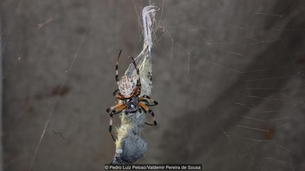 A common tody-flycatcher (Todirostrum cinereum) being eaten by a spider (Nephilengys cruentata) (Credit: Pedro Luiz Peloso/Valdemir Pereira de Sousa)