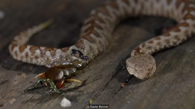 A Scolopendra centipede eats its way out of a female horn-nosed viper (Vipera ammodytes) (Credit: Xavier Bonnet)