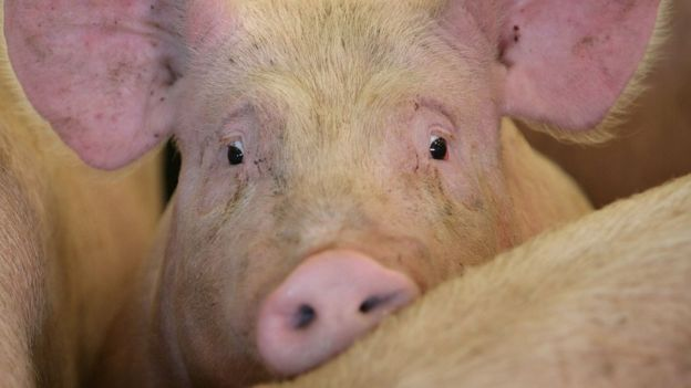 A pig waits to be auctioned to farmers and buyers attending the York Livestock Auction