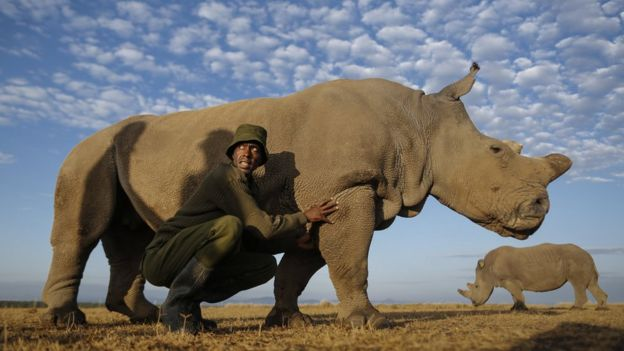 A rhino caretaker Mohammed Doyo caresses one of two surviving female northern white rhinos, Najin, at Ol Pejeta Conservancy near Nanyuki, some 200km north of Nairobi, Kenya, on 18 February 2015
