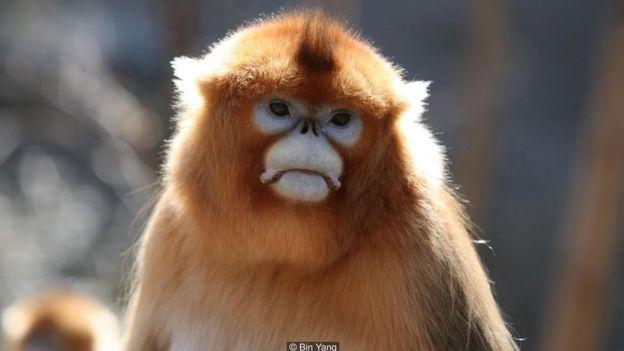 Khỉ thường đau buồn khi bạn tình của nó chết