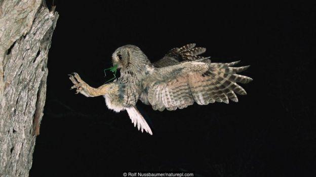 An eastern screech owl (Megascops asio)