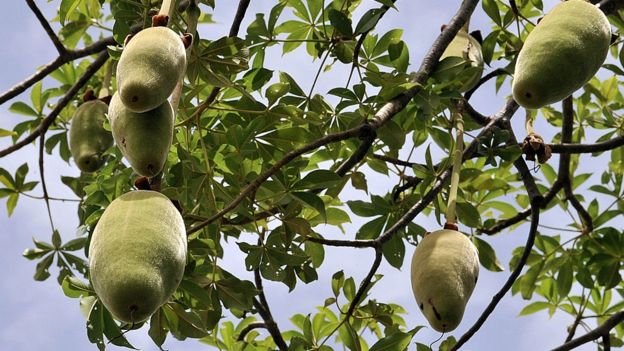 Le pain de singe, le fuit du baobab