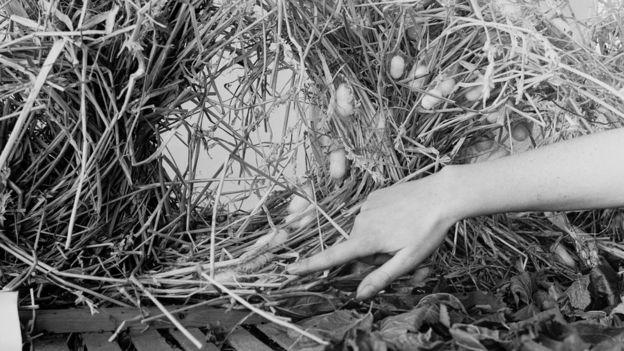 Шелковичные черви, графство Кент, 1947г.