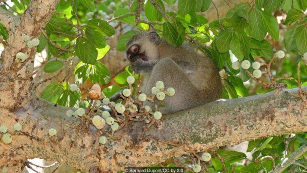 incir yiyen maymun
