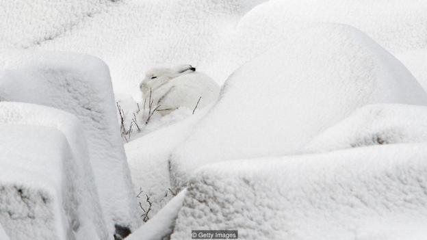 به گفته نگهبانان پارک، آب شدن سریع برف باعث شده خرگوش قطبی دیگر نتواند خود را به خوبی استتار کند