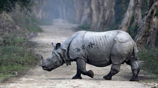 An Indian one-horned rhino crosses a forest road during the rhino census inside the Kaziranga National Park in Assam, north-east India, 26 March 2018