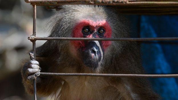 Khỉ tại Yên Bái hiện bị cho là loài động vật hoang dã sắp tuyệt chủng vì săn bắn quá nhiều