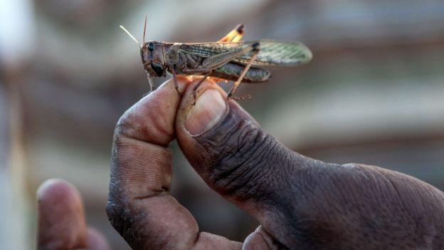 Man holds a locust