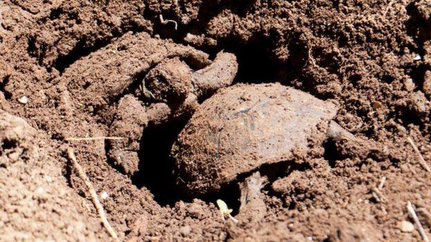 Tortugas bebé emergiendo del nido