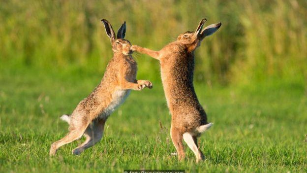 Avropa dovşanları (Lepus europaeus) bokslaşır.