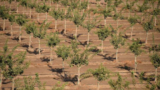 Pistachio field in California