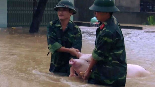This picture from the Vietnam News Agency taken on October 11, 2017 shows soldiers carrying a pig in a flood-affected area in the central province of Thanh Hoa.