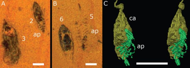 illustration of fossil sections and 3D reconstructions