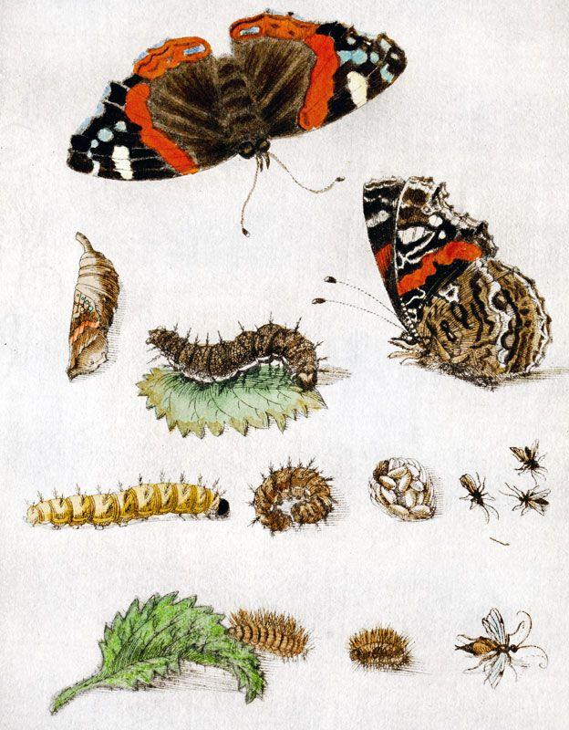 Dibujo de Maria Merian con todo sobre las mariposas