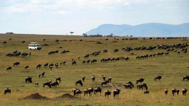 肯尼亞動物大遷徙。